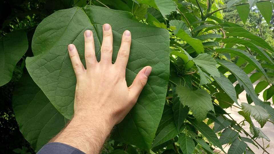 Northern Catalpa Leaf