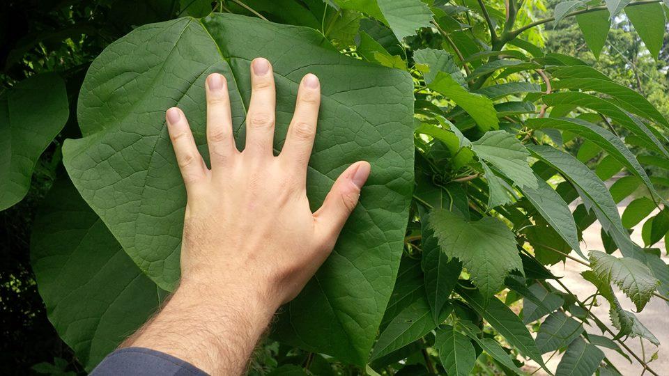 Northern Catalpa Leaf